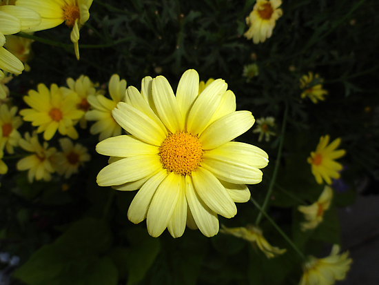Estes Park Sunshine Daisy  by Robert Meyers-Lussier