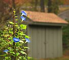Shed Morning Glory by Owed to Nature