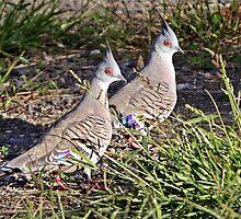 Crested Pigeons by Robert Elliott
