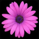 Pink African Daisy on Black by taiche
