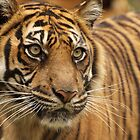 Sumatran Tiger by AngelaHumphries