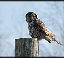 Northern Hawk Owl, a Welcome Guest! by Groovydawg