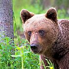 Brown bear by ilpo laurila