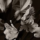 Alstrumeria (after Edward Steichen) by Robert Worth