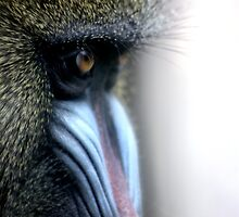 Mandrill by ZWC Photography