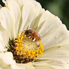 Honeybee on Zinnia angle 2 by AbigailJoy