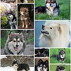 Finnish Lapphund Club of Victoria 2013 by FLCV
