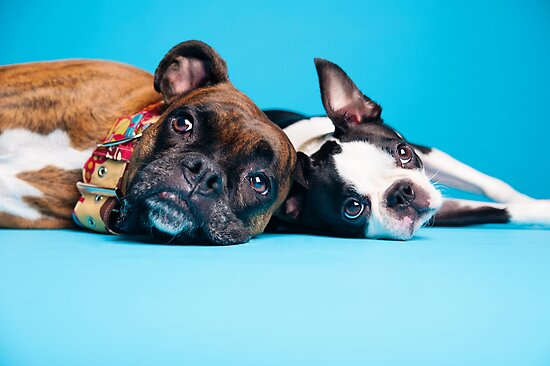 Emilee Fuss › Portfolio › Best Friends - Boxer and Boston Terrier