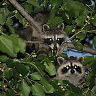 racoon by aroundhome