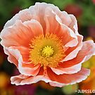 Peach Coloured Poppy  by -aimslo-