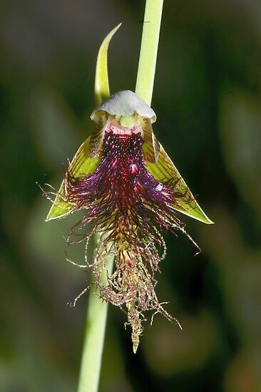 Calochilus therophilus (Late Beard Orchid) by Russell Mawson