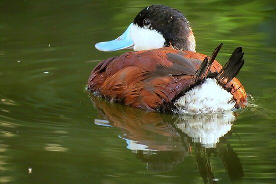 Ruddy Duck Reflections by Kimberly P-Chadwick