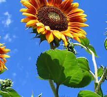 Sunflower by TinaGraphics