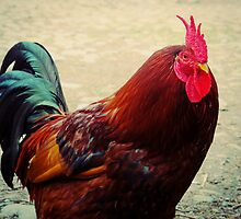Rooster by Aaron Corr