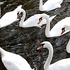 White Swans at river Vltava by dyanera