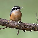 Nuts / Red-Breasted Nuthatch by Gary Fairhead