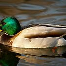 Maynard The Mallard by Tim Denny