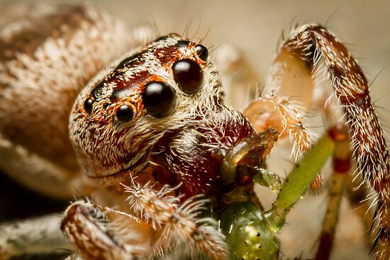 (Servaea vestita) Jumping Spider Feeding #2 by Kerrod Sulter