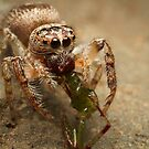 (Servaea vestita) Jumping Spider Feeding #3 by Kerrod Sulter