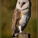 Barn Owl by alan tunnicliffe