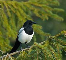 Magpie in Tree by Sue Robinson