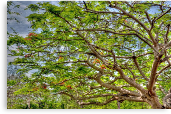 Royal Poinciana Tree in Nassau, The Bahamas by 242Digital