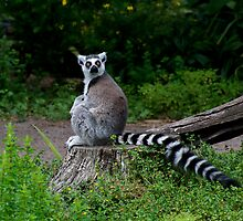 Lemur Look by GP1746