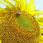 Sunflower and a bee. by Annabella