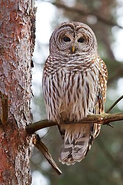 Barred Owl by Jim Cumming