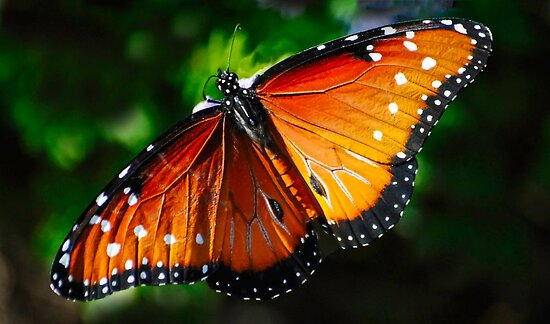 Monarch by George I. Davidson