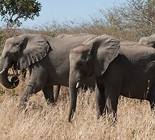African Elephant  by Vickie Burt
