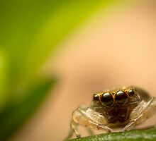 (Astia nodosa?) Jumping Spider by Kerrod Sulter