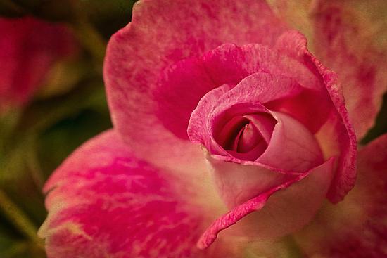 Painterly pink by Celeste Mookherjee