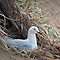 Silver gull nesting by Jennie  Stock
