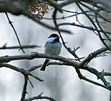 Chickadee 1 by Carolyn Clark