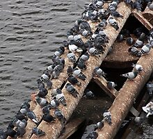 Pigeons at the River by brijo