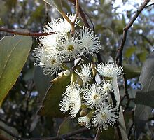 Flowering eucalypt by BronwynParry186