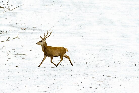 Stag in the Snow by Mark Van Scyoc