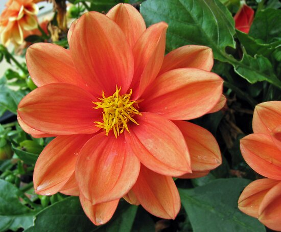 Drop Dead Gorgeous - Beautiful Orange Dahlia by MidnightMelody