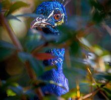 Peacock Peeping Tom by alan shapiro
