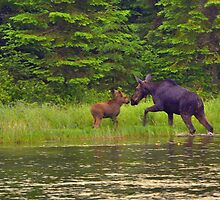 The Moment.......Cow and Calf Moose by pshootermike