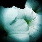 White Petunia by Jock Anderson