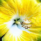 Yellow Hibiscus with Ants by Jock Anderson