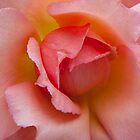 Pink Rose by M. van Oostrum