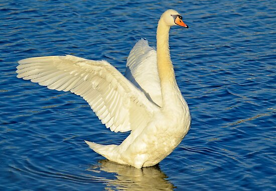 SWAN STRETCH – *Best Viewed Larger* by imagetj