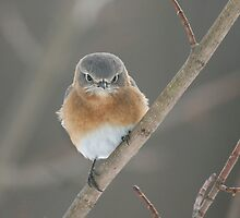 Angry Bluebird by Melissa Penta