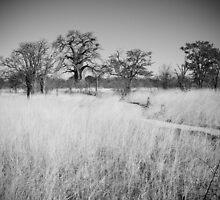 Baobab trees of Botswana by maddie5