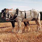 Shire Horse Pair by Simon Harris