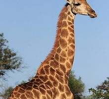 Giraffe in early morning light, Mkuze Reserve, South Africa 2012 by Michael Field