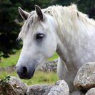 Connemara Pony looking over an Irish stone wall by ConnemaraPony